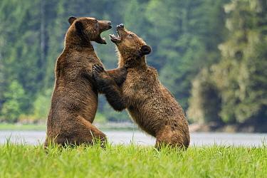 Grizzly Bear (Ursus arctos horribilis) pair fighting, Khutzeymateen Grizzly Bear Sanctuary, British Columbia, Canada