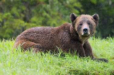 Grizzly Bear (Ursus arctos horribilis) in rainfall, Khutzeymateen Grizzly Bear Sanctuary, British Columbia, Canada
