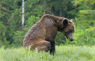 Grizzly Bear (Ursus arctos horribilis) in rainfall, Khutzeymateen Grizzly Bear Sanctuary, British Columbia, Canada