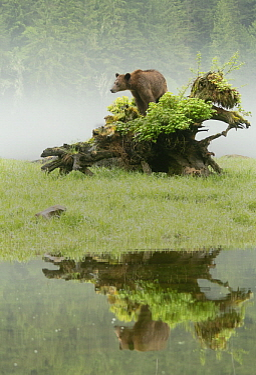 Grizzly Bear (Ursus arctos horribilis) on fallen tree, Khutzeymateen Grizzly Bear Sanctuary, British Columbia, Canada