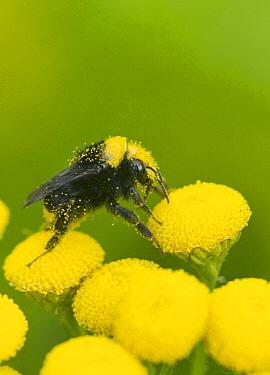Yellow-faced Bumblebee (Bombus vosnesenskii) on Curled Tansy (Tanacetum vulgare), Nisqually Valley, Washington