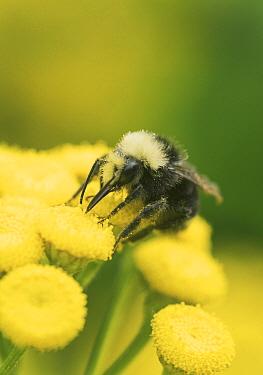 Yellow-faced Bumblebee (Bombus vosnesenskii) feeding on Curled Tansy (Tanacetum vulgare), Nisqually Valley, Washington
