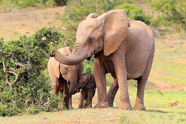 African Elephant (Loxodonta africana) mother browsing with calves, Addo National Park, South Africa