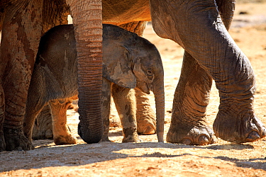 African Elephant (Loxodonta africana) herd protecting calf, Addo National Park, South Africa