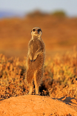 Meerkat (Suricata suricatta) on guard, Oudtshoorn, South Africa