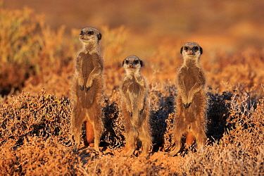 Meerkat (Suricata suricatta) trio on guard, Oudtshoorn, South Africa