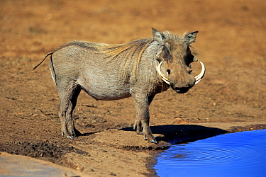 Cape Warthog (Phacochoerus aethiopicus) male at waterhole, Addo National Park, South Africa