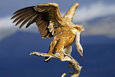 Griffon Vulture (Gyps fulvus) balancing on branch at feeding station, Castile-La Mancha, Spain