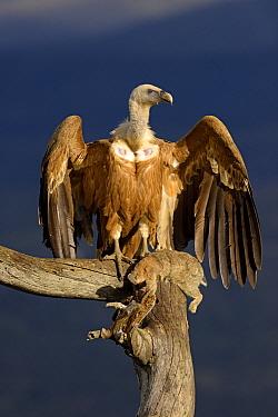Griffon Vulture (Gyps fulvus) basking at feeding station, Castile-La Mancha, Spain