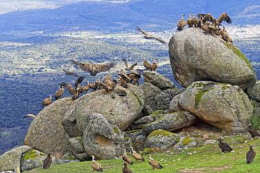 Griffon Vulture (Gyps fulvus) group gathering at feeding station, Castile-La Mancha, Spain