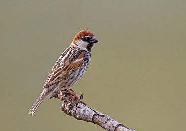 Spanish Sparrow (Passer hispaniolensis), Castile-La Mancha, Spain
