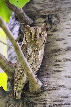 Common Scops-Owl (Otus scops), Aosta Valley, Italy