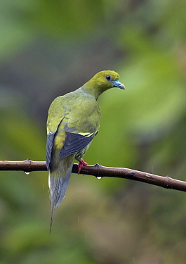 Pin-tailed Green-Pigeon (Treron apicauda), West Bengal, India