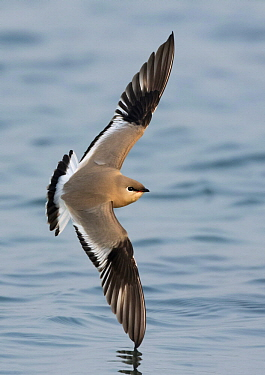 Small Pratincole (Glareola lactea) flying over water, West Bengal, India
