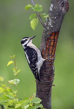 Hairy Woodpecker (Picoides villosus) female, British Columbia, Canada