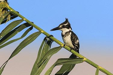Pied Kingfisher (Ceryle rudis), Eilat, Israel