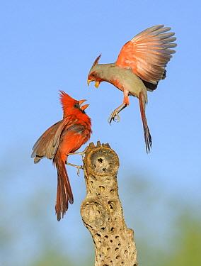 Northern Cardinal (Cardinalis cardinalis) male and Pyrrhuloxia (Cardinalis sinuatus) male fighting, Texas