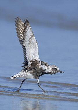 Black-bellied Plover (Pluvialis squatarola) taking flight, Texas