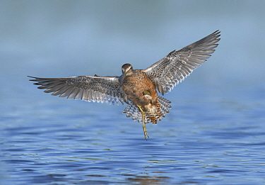 Long-billed Dowitcher (Limnodromus scolopaceus) flying, Texas