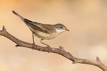 Lesser Whitethroat (Sylvia curruca), Eilat, Israel