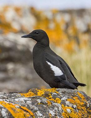 Black Guillemot (Cepphus grylle), Iceland