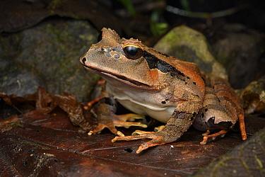 Arfak Cannibal Frog (Lechriodus platyceps), Arfak Mountains, West Papua, Indonesia