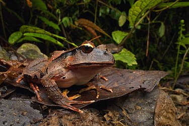 Arfak Cannibal Frog (Lechriodus platyceps), Arfak Mountains, West Papua, Indonesia