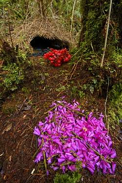 Brown Gardener (Amblyornis inornatus) bower with Orchid (Dendrobium sp) flower decorations, Arfak Mountains, West Papua, Indonesia
