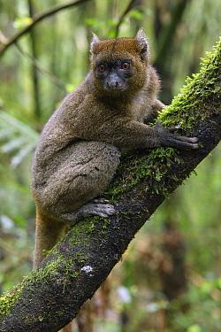 Greater Bamboo Lemur (Prolemur simus), Ranomafana National Park, Madagascar