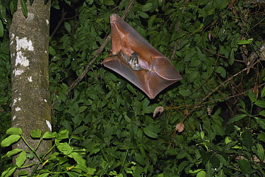Sunda Flying Lemur (Galeopterus variegatus) mother and young gliding at night, Bako National Park, Sarawak, Borneo, Malaysia