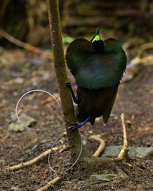 Magnificent Bird-of-paradise (Cicinnurus magnificus) male calling at lek, Arfak Mountains, West Papua, Indonesia
