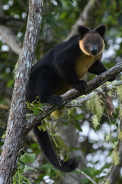 Vogelkop Tree-kangaroo (Dendrolagus ursinus), Arfak Mountains, West Papua, Indonesia