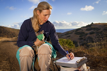 Santa Catalina Island Fox (Urocyon littoralis catalinae) biologist, Julie King, examining fox during vaccination and health check up, Santa Catalina Island, Channel Islands, California