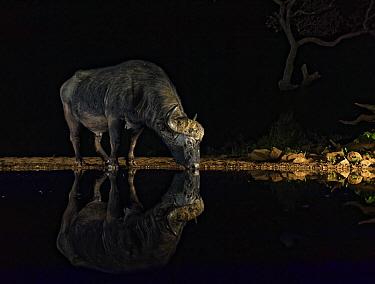Cape Buffalo (Syncerus caffer) drinking at waterhole at night, KwaZulu-Natal, South Africa