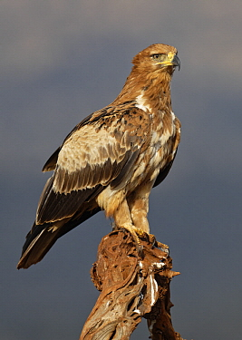 Tawny Eagle (Aquila rapax), KwaZulu-Natal, South Africa