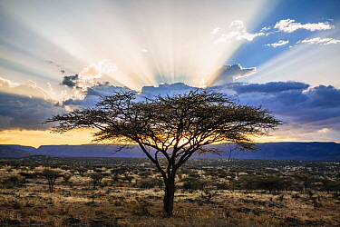 Acacia (Acacia sp) trees at sunset, northern Kenya