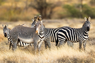 Grevy's Zebra (Equus grevyi) and Burchell's Zebra (Equus burchellii) herd, El Barta, Kenya