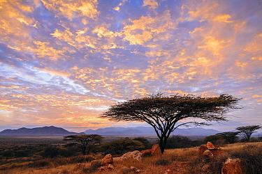 Acacia (Acacia sp) tree at Sunrise, El Barta, Kenya