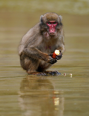 Japanese Macaque (Macaca fuscata) feeding on Sweet Potato (Ipomoea batatas), Kojima, Miyazaki, Japan