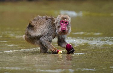 Japanese Macaque (Macaca fuscata) washing Sweet Potato (Ipomoea batatas) with sea water, Kojima, Miyazaki, Japan