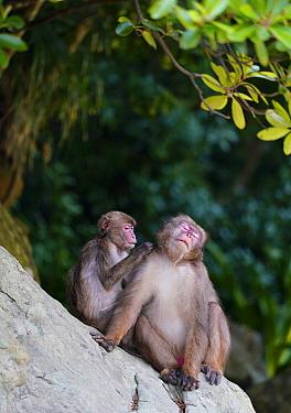 Japanese Macaque (Macaca fuscata) pair grooming, Kojima, Miyazaki, Japan