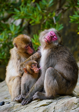Japanese Macaque (Macaca fuscata) mother being groomed by sub-adult while nursing young, Kojima, Miyazaki, Japan