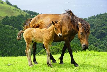 Wild Horse (Equus caballus) mother and foal, Cape Toi, Miyazaki, Japan