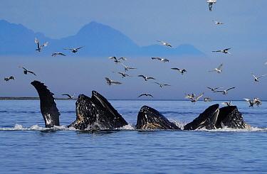 Humpback Whale (Megaptera novaeangliae) pod gulp feeding, Inside Passage, southeast Alaska