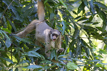 Northern Muriqui (Brachyteles hypoxanthus) feeding in tree, Feliciano Miguel Abdala Private Natural Heritage Reserve, Atlantic Forest, Brazil