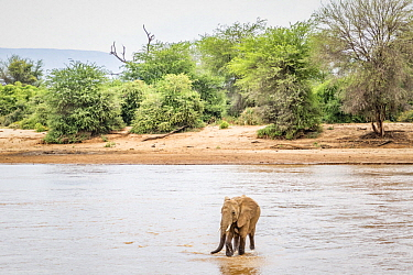 African Elephant (Loxodonta africana) sub-adult male crossing river, Ewaso Ng'iro River, Samburu National Park, Kenya
