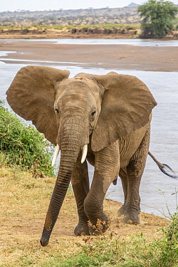 African Elephant (Loxodonta africana) sub-adult male, Ewaso Ng'iro River, Samburu National Park, Kenya