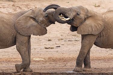 African Elephant (Loxodonta africana) sub-adult males play-fighting, Ewaso Ng'iro River, Samburu National Park, Kenya