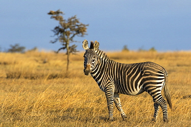 Grevy's Zebra (Equus grevyi) and Burchell's Zebra (Equus burchellii) hybrid, Ol Pejeta Conservancy, Kenya