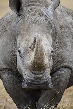 White Rhinoceros (Ceratotherium simum), Ol Pejeta Conservancy, Kenya